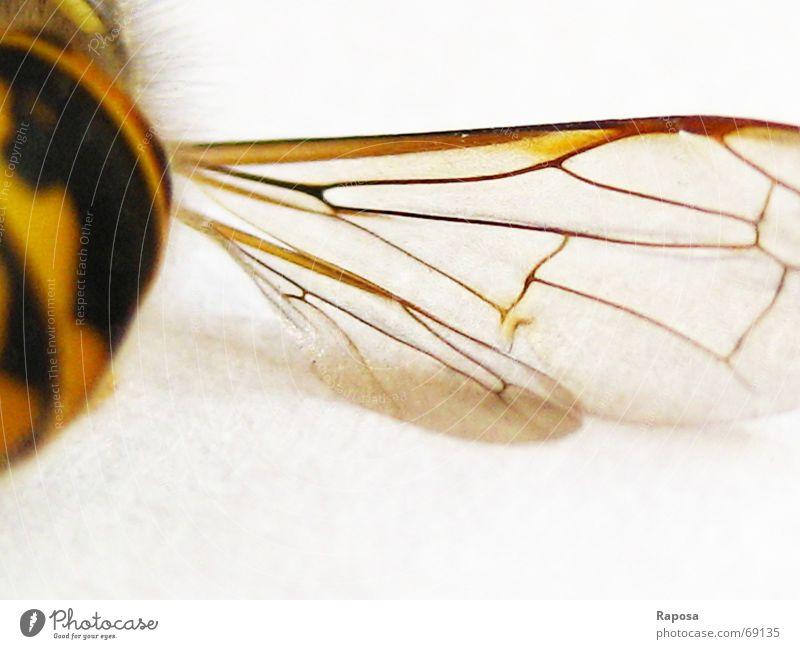 feine Linien Tier Insekt Sechsfüßer Wespen schwarz gelb gestreift Biene klein Bewegung abdomen Flügel feine linien Netz fliegen flugapparat Makroaufnahme