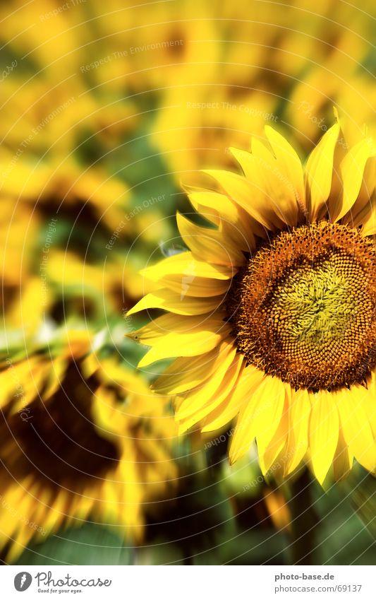 Sunflower of LSD Sonnenblume gelb grün Blume Blumenfeld Feld Sonnenblumenfeld sunflower flash