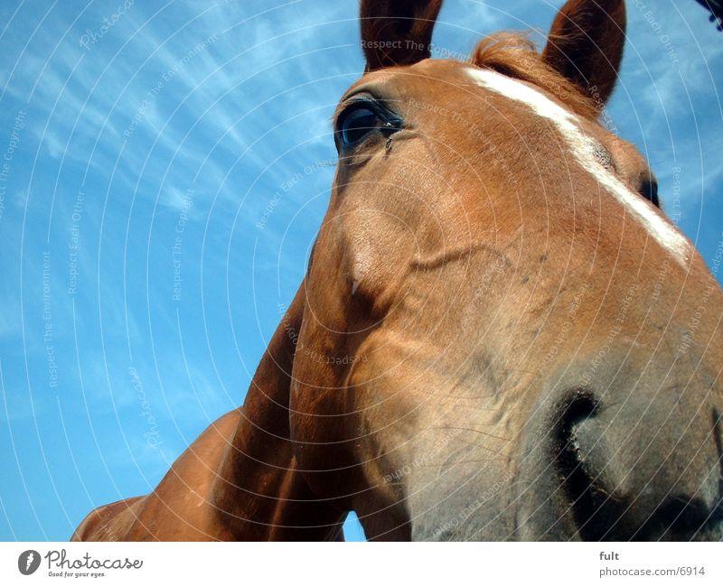 Pferd Nase Himmel Ponny Fliege