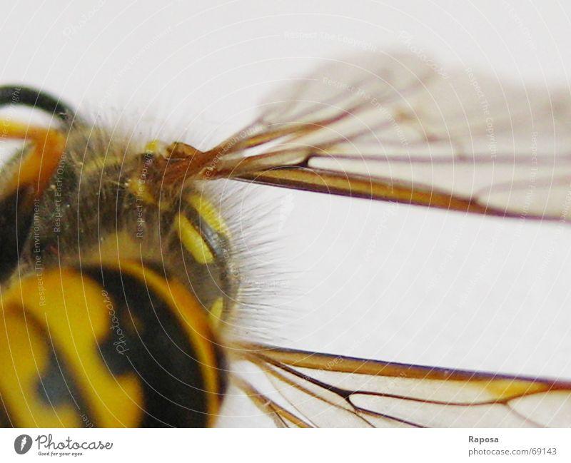 feine Linien Part II schwarz Tier gelb Haare & Frisuren Bewegung klein fliegen Flügel Netz Insekt Biene gestreift Fühler Wespen Hautflügler Sechsfüßer
