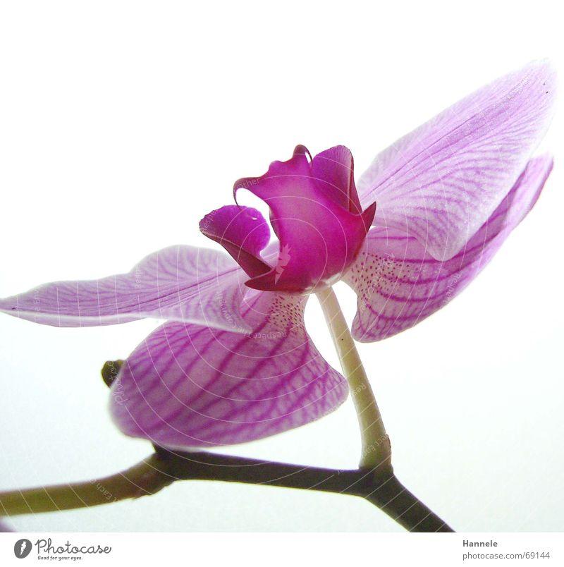 orchdäles bunt2 Orchidee Blume Blüte Pflanze zerbrechlich zart Asien rosa Blühend fragiel hell Natur