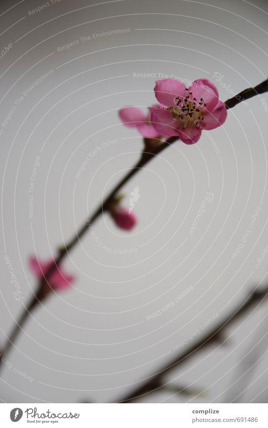Rosa Erholung ruhig Leben Frühling Blüte Schwimmen & Baden rosa Idylle Blühend Wellness dünn Wohlgefühl Zweig Duft harmonisch Blütenknospen