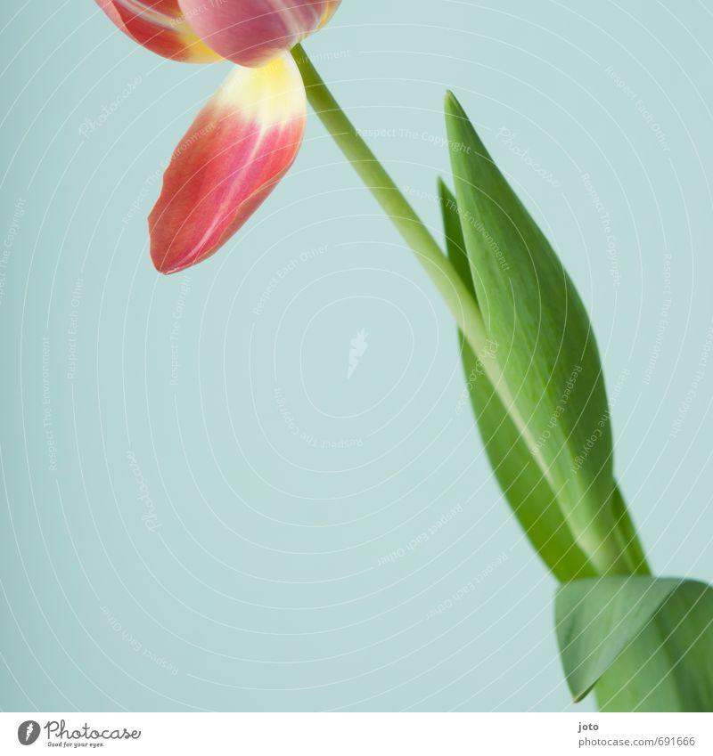 ausschnitt II schön ruhig Duft Sommer Dekoration & Verzierung Valentinstag Muttertag Natur Pflanze Frühling Blume Tulpe Blüte Blumenstrauß Blühend frisch modern