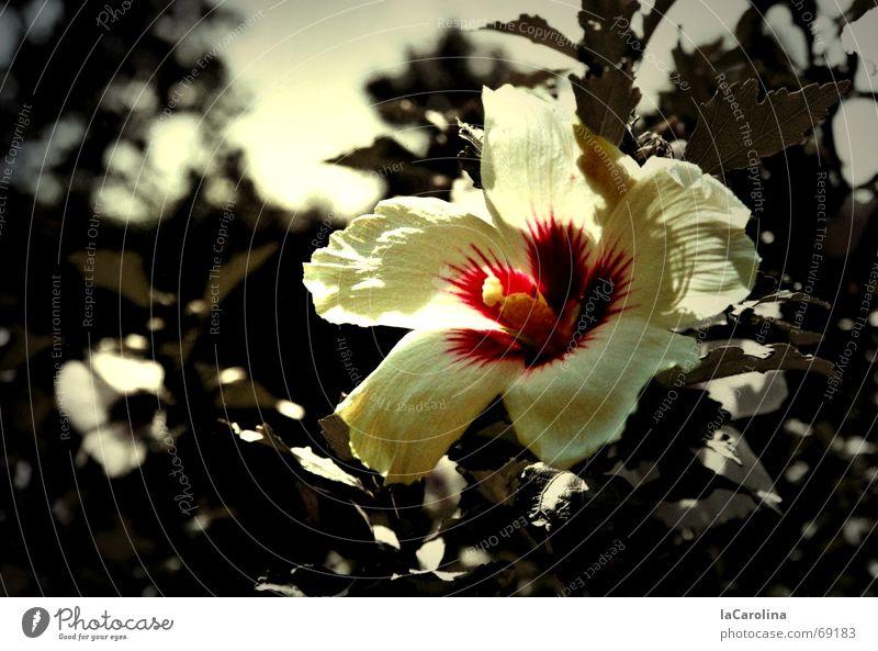 hibiscus im sommer Blume Sommer Sonnenstrahlen Blüte Sträucher Hibiscus Physik Farbfleck Licht flower Schwarzweißfoto sun Wärme Garten outside Farbe colour
