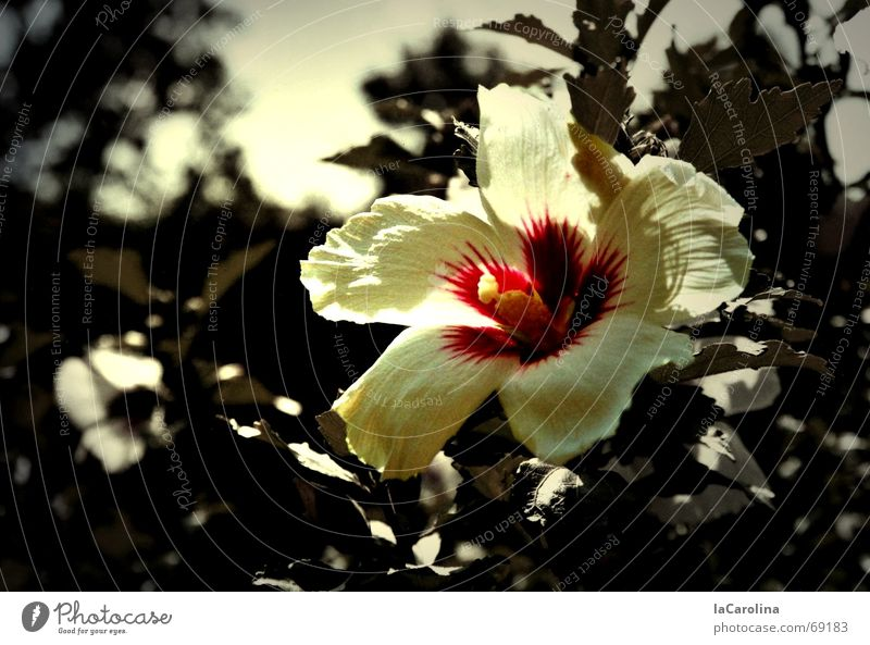 hibiscus im sommer Sonne Blume Sommer Farbe Blüte Garten Wärme Sträucher Physik Farbfleck Hibiscus