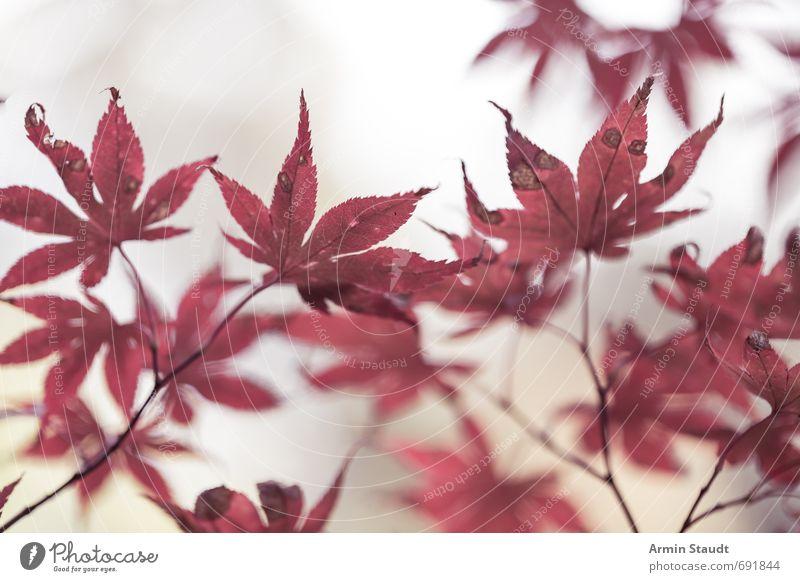 Blutige Herbstblätter Natur Tier Nebel Pflanze Baum Blatt Park alt ästhetisch authentisch einfach hell natürlich rot weiß Stimmung Trauer Einsamkeit Farbe
