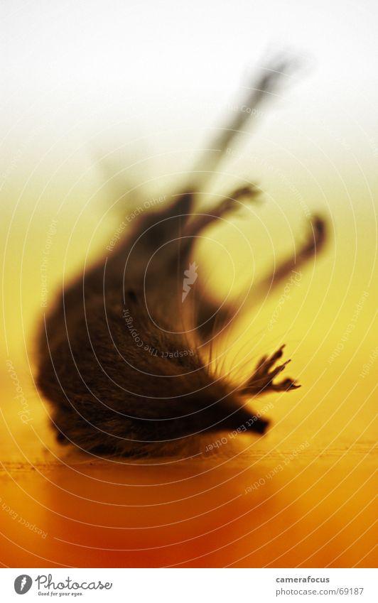 mausetot ... Tier Tod liegen Bodenbelag Appetit & Hunger Maus bewegungslos Leiche getrocknet Nagetiere konserviert tragisch verhungern Totenstarre