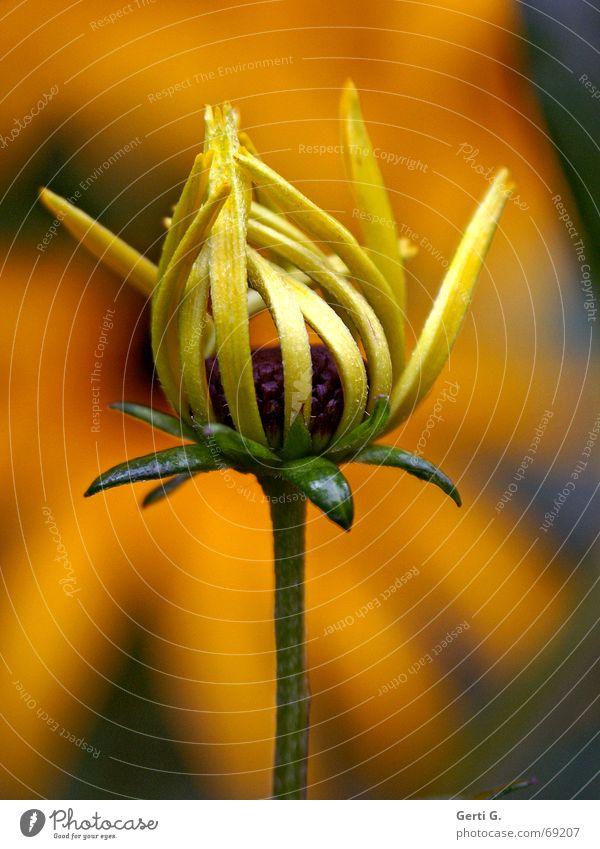 Sonnenhut Natur Blume grün Pflanze gelb Blüte orange gold frisch zart Stengel Blühend niedlich sprießen unreif