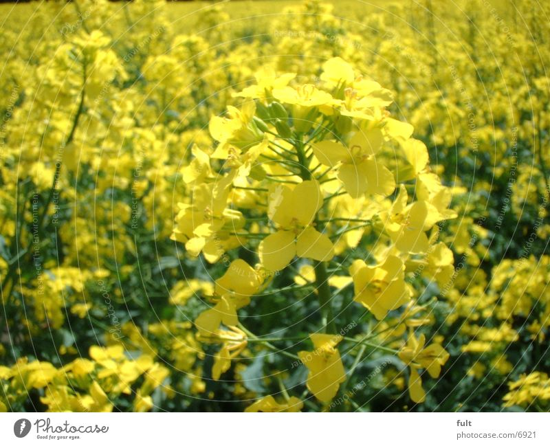 Raps gelb Feld