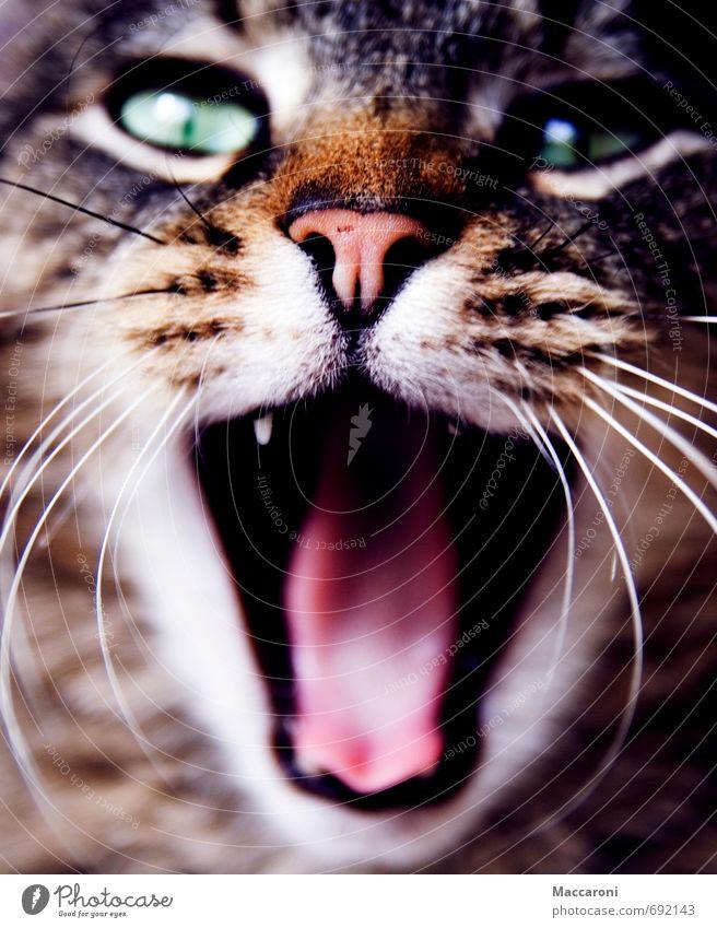 Gute Nacht :) Fell Tier Haustier Katze 1 Essen füttern genießen Jagd kämpfen Aggression frech Trägheit bequem Völlerei gefräßig Kitsch Risiko Wut gähnen Zunge