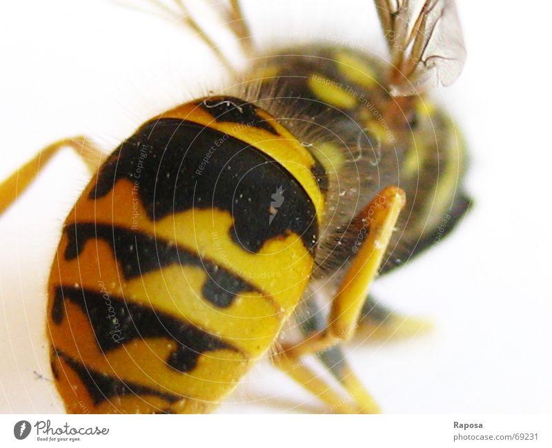 Ich zeig dir mein Hinterteil! Tier Insekt Sechsfüßer Wespen schwarz gelb gestreift Biene klein Bewegung Fühler Hautflügler abdomen Flügel fliegen flugapparat