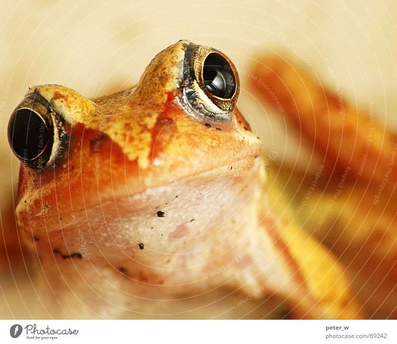 Vermisst jemand nen Märchenprinzen? Artenreichtum Küssen Terrarium Froschauge geistreich wach Neugier süß Großmaul Tier gelb springen Herbst Europa Froschkönig