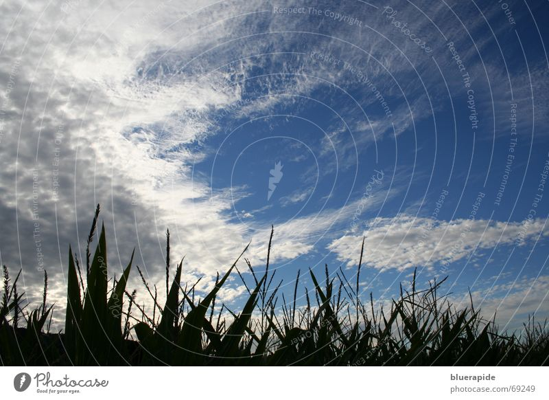 Wolken überm Feld Maisfeld Maiskolben Versorgung grün Stauden Kolben unheimlich dunkel Schaf Wolle unten Ernte Pflanze Lebensmittel geschlossen Himmel blau