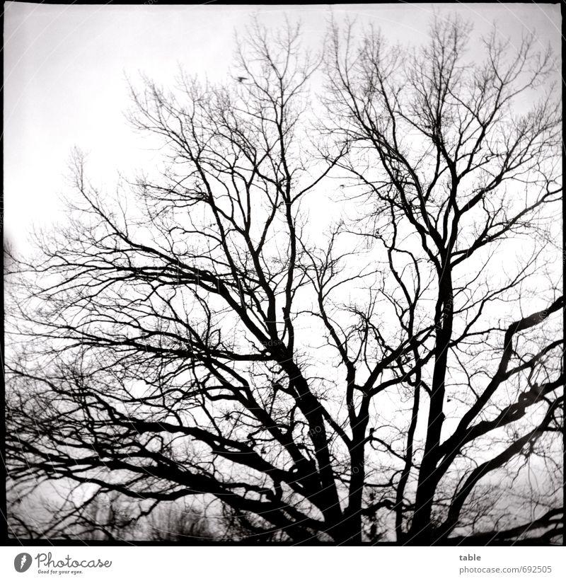 was juckt`s die Eiche . . . Himmel Natur alt weiß Pflanze Baum Landschaft schwarz Winter dunkel Umwelt Herbst Holz träumen Kraft Wachstum