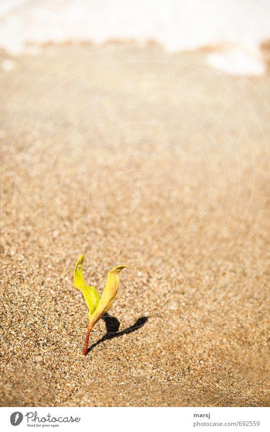 Einzelgänger | mit Schatten II Natur grün Pflanze Einsamkeit Blatt Strand Frühling klein natürlich Sand braun elegant Zufriedenheit Wachstum authentisch