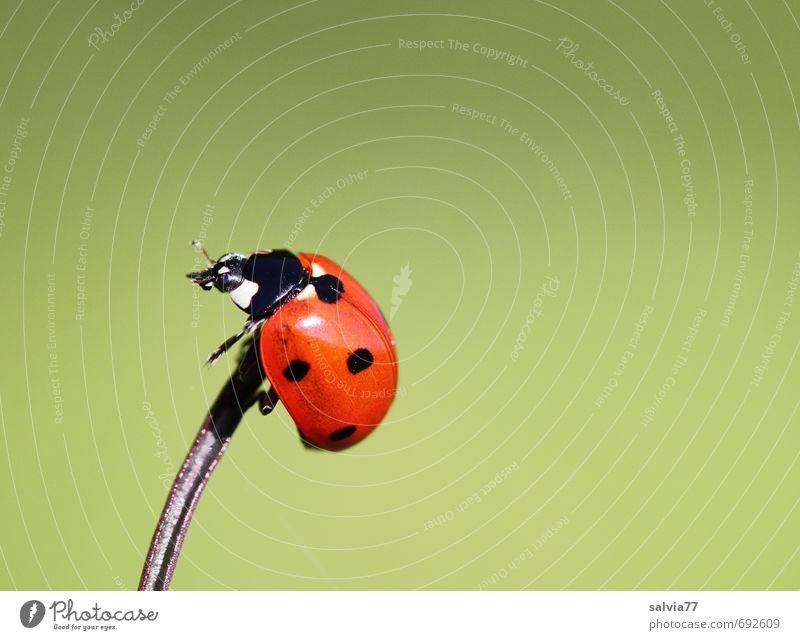 Glück auf Umwelt Natur Tier Frühling Sommer Wildtier Käfer 1 krabbeln sportlich grün rot schwarz Frühlingsgefühle Höhenangst Zufriedenheit Perspektive