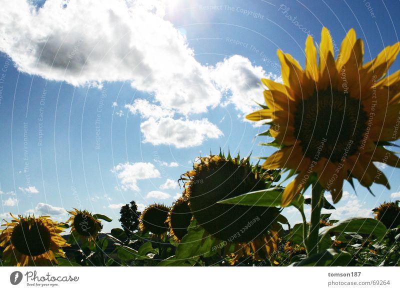 armee des lichts Sonne Blume Sommer Sonnenblume Armee