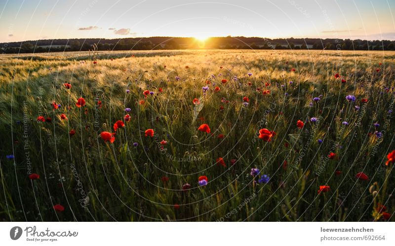 Mohn im Kornfeld Natur Landschaft Pflanze Sommer Schönes Wetter Nutzpflanze Feld Blühend Erholung genießen träumen fantastisch Unendlichkeit schön natürlich