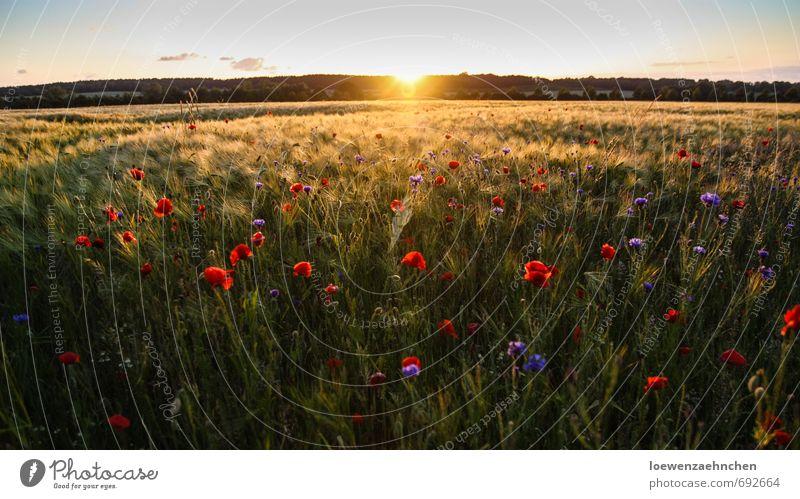 Mohn im Kornfeld Natur schön Pflanze Sommer Erholung Landschaft Freiheit natürlich träumen Feld Zufriedenheit Schönes Wetter genießen Warmherzigkeit fantastisch