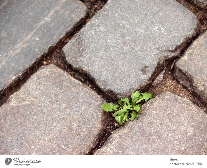 Kräfteverhältnis [I] Backstein grün grau Furche überleben Ausdauer Lebenslust Pflanze Grünpflanze Dominanz Farbfleck Erde Stein Einsamkeit Pflastersteine