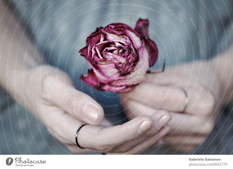Fragil Hand Finger blau rosa Rose verdorrt vertrocknet schön sensibel Farbfoto Außenaufnahme Schwache Tiefenschärfe