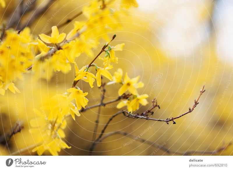 Forsythien Natur schön Pflanze Blume ruhig gelb Frühling Blüte braun Garten Zufriedenheit Sträucher ästhetisch Beginn beobachten Blühend