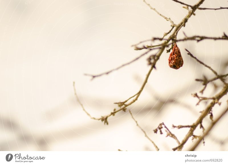 Dörrobst Umwelt Natur Pflanze Frühling Dürre Baum Sträucher Nutzpflanze Obstbaum Garten hängen dehydrieren warten braun Trockenfrüchte Falte vertrocknet Ast