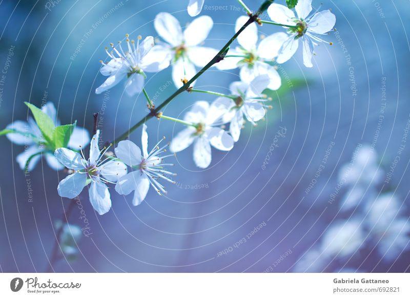 Natur blau schön weiß Blume Blühend violett Obstbaum