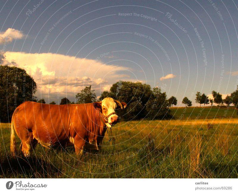 Das ist die Edith Tier Wiese Landschaft braun Kuh Horn Klimawandel Milchquote