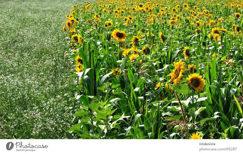 Bienenparadies Sommer Sonnenblume Wiese Anhäufung gelb grün Wohlgefühl Unendlichkeit Feld Blüte schön Außenaufnahme Sonnenblumenfeld Natur nutzwiese Mais