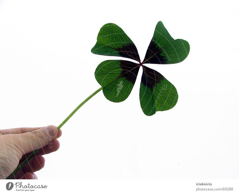 Das Glück festhalten Hand grün Pflanze Freude Glück Wunsch Symbole & Metaphern Wunschvorstellung Klee Glückwünsche Glücksbringer Gratulation vierblättrig Zierklee Vor hellem Hintergrund