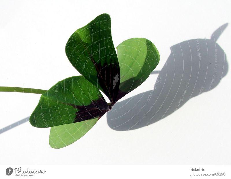 Glück gefunden II Klee grün Japan Zierklee vierblättrig Symbole & Metaphern Wunsch fließen Strahlung 4blättrig Schatten Nahaufnahme herzform Strukturen & Formen