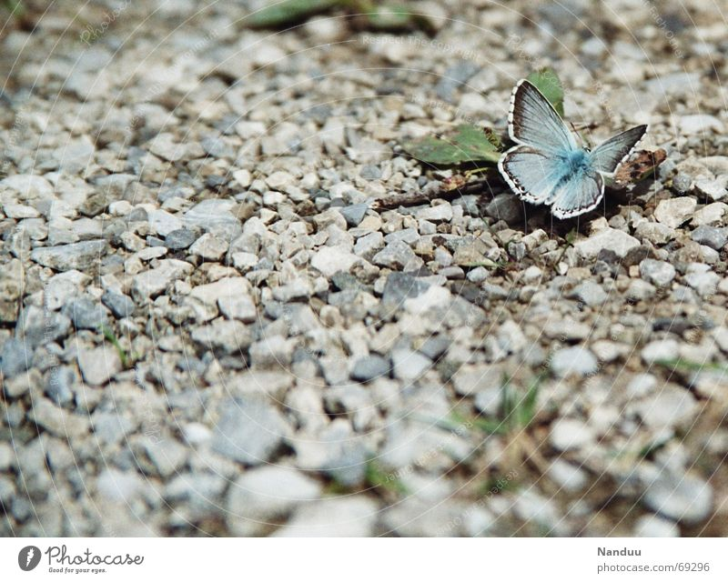 Startbahn Natur schön Freiheit Stein sitzen niedlich zart Schmetterling Kies Textfreiraum filigran winzig blau-grau Bläulinge Hauhechelbläuling