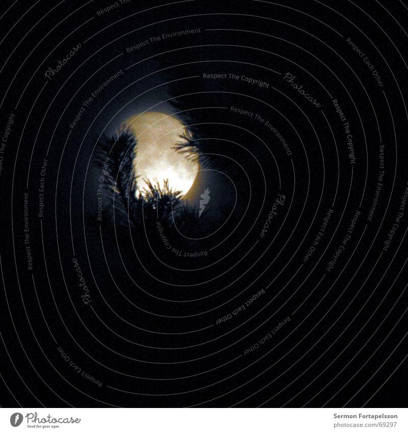 sommervollmondnacht Nacht Nadelbaum Vollmond Mond Himmel Natur Zweig