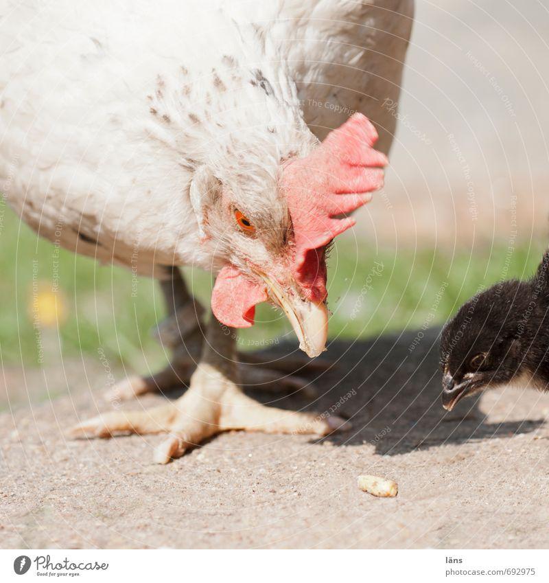 hab ich Tier rennen entdecken Tiergesicht Fressen Erwartung Vorfreude Nutztier Haushuhn Überleben