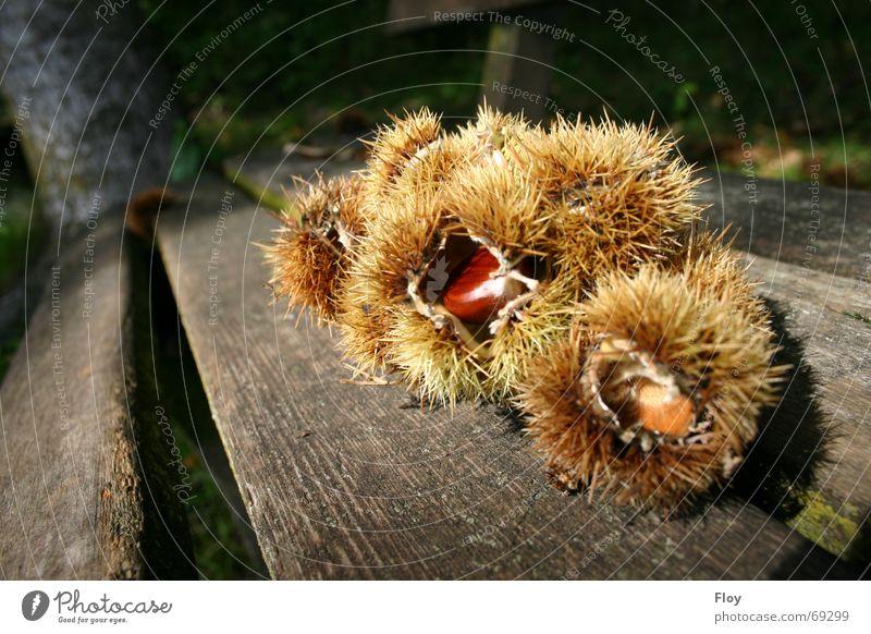 Kastanien Baum Herbst braun Perspektive mehrere Bank Kastanienbaum Holzbank