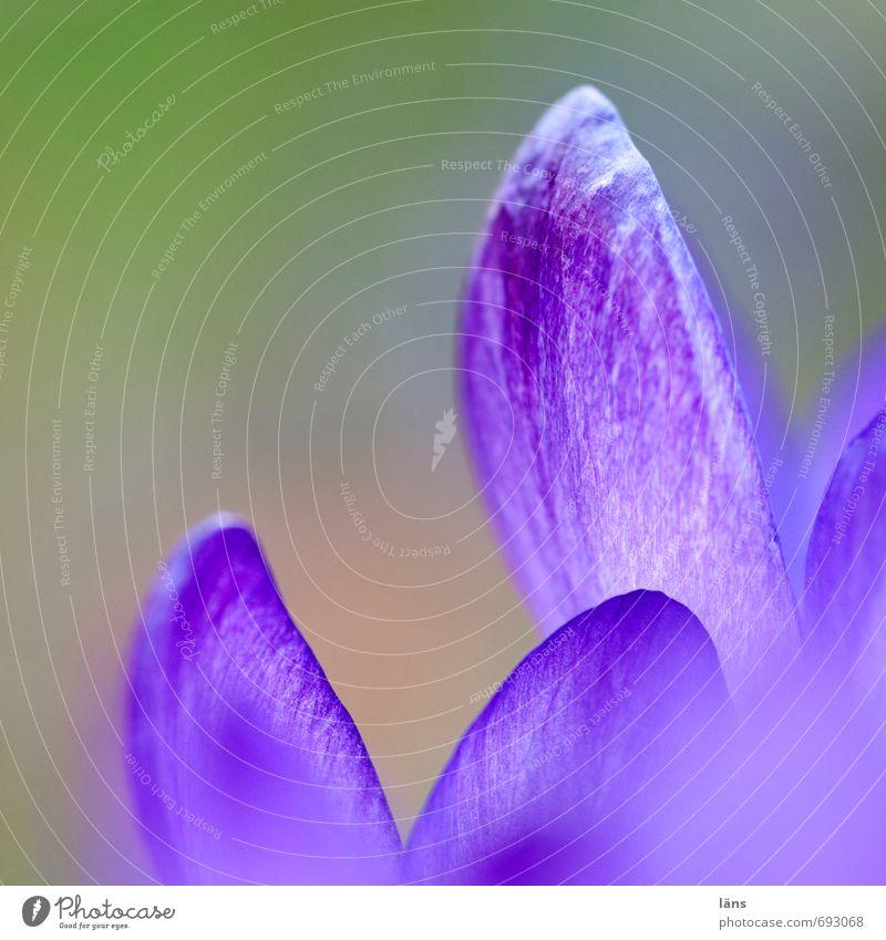 kommt. summ summ Natur Pflanze Blume Blüte warten frisch Blühend Hoffnung violett Krokusse