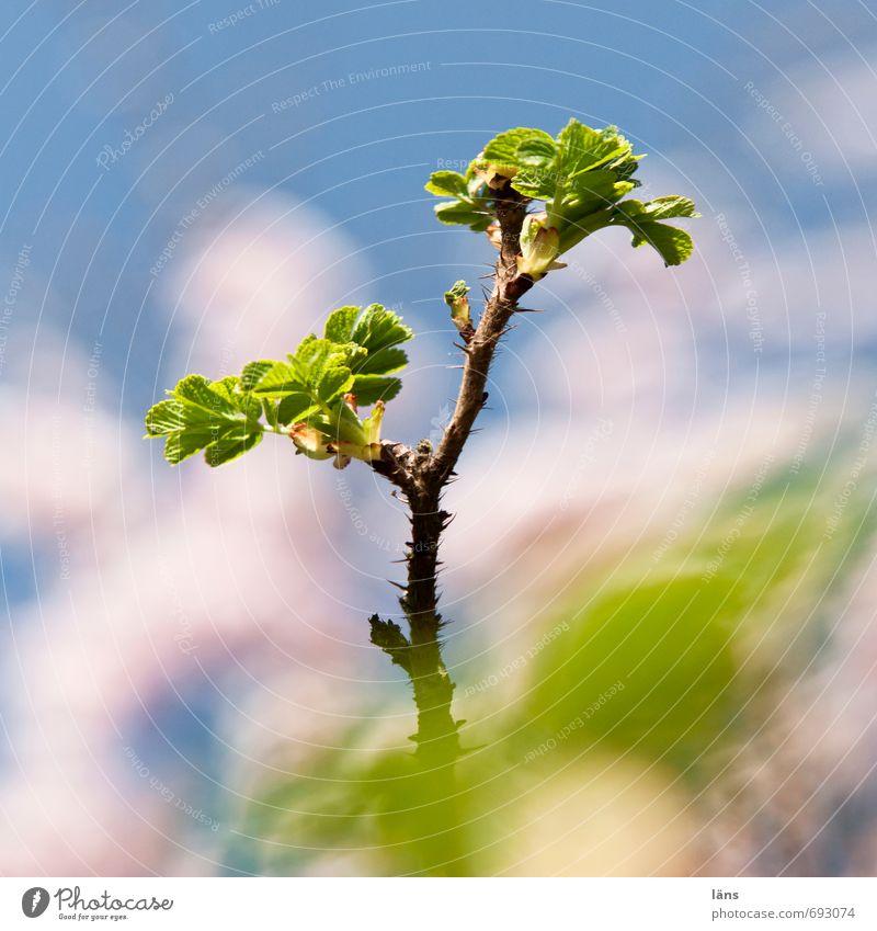 herausragend Himmel Natur blau grün weiß Blatt Umwelt Sträucher Wachstum Wildpflanze Hundsrose