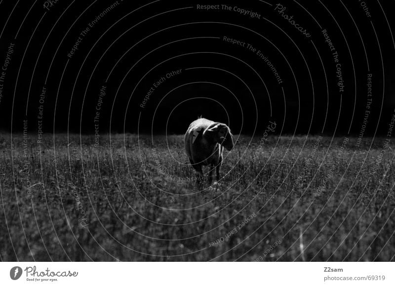 black sheep Schaf Wiese dunkel Gras stehen Einsamkeit Tier Licht dark grass Weide Natur animal Schatten