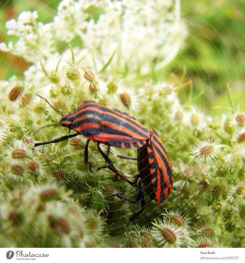 2 käfer Natur Blume Pflanze Tier Zusammensein Kunst laufen Zukunft stehen Hinterteil Biologie Fühler Nervosität füttern kleben Ablehnung