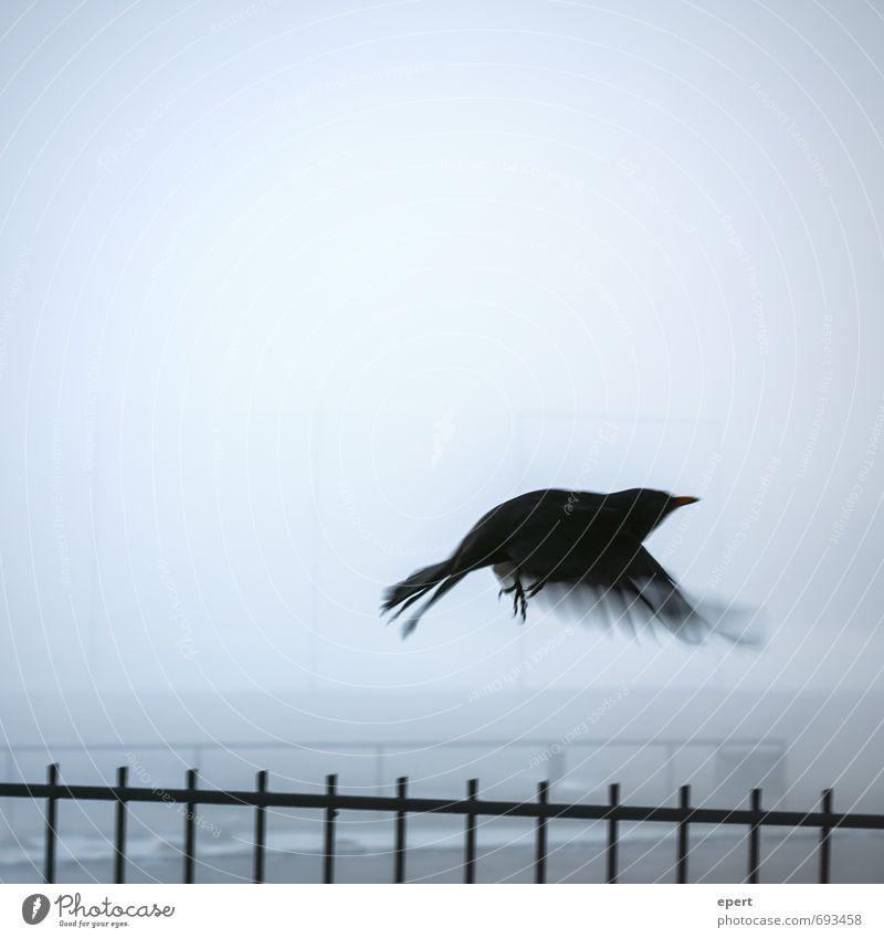 Überwindung Tier Vogel Flügel Krähe Amsel 1 Zaun Nebel Bewegung fliegen dunkel frei Unendlichkeit kalt Hoffnung Sehnsucht Beginn Einsamkeit Freiheit