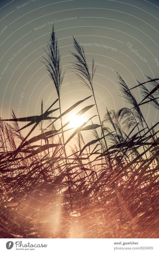 Reed in the Sun Umwelt Natur Pflanze Gras Grünpflanze gelb gold Frühlingsgefühle Willensstärke Warmherzigkeit Farbfoto Außenaufnahme Tag Licht Kontrast