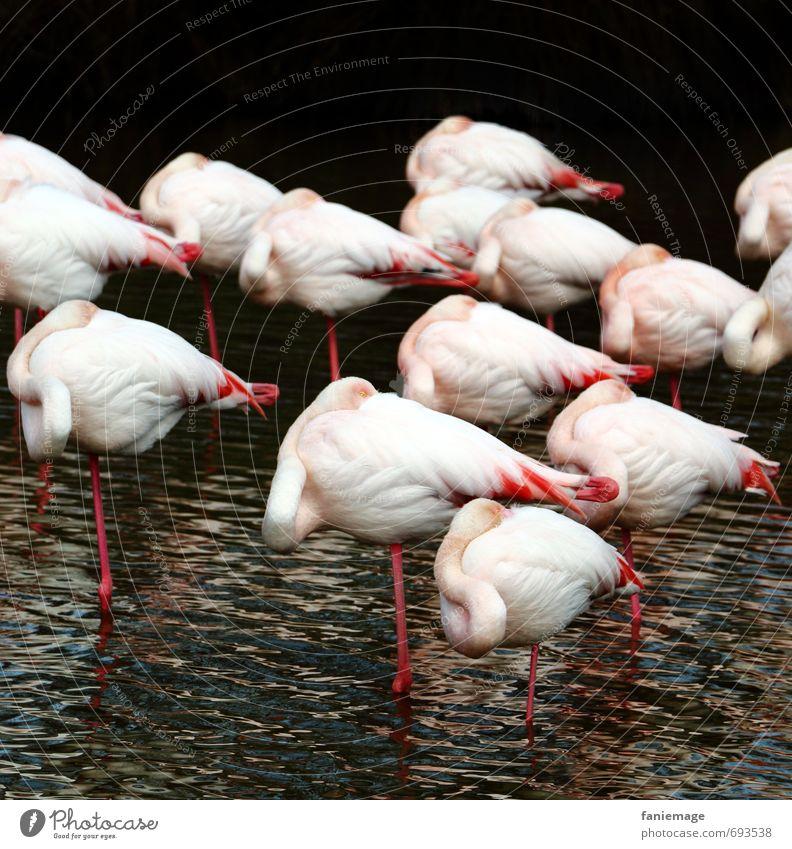 flamants fatigués Natur Wasser rot Tier schwarz Umwelt See rosa Vogel Zusammensein Wellen elegant Wildtier schlafen Sicherheit Vertrauen