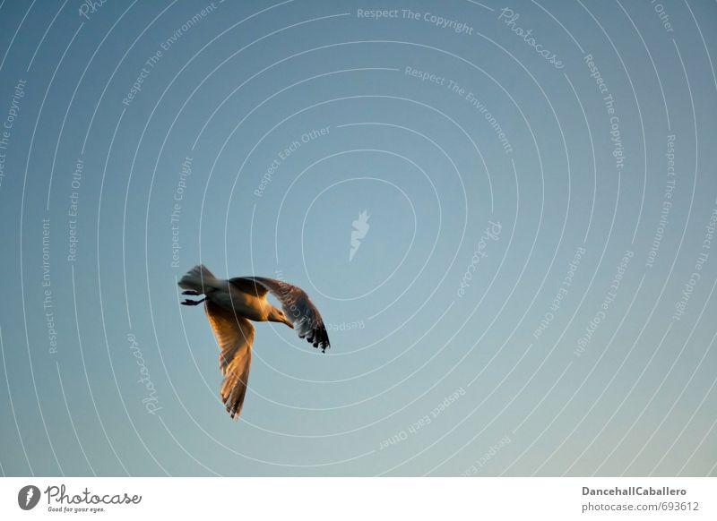 in den Abend hinein... Natur Tier Luft Himmel Wolkenloser Himmel Sonnenaufgang Sonnenuntergang Schönes Wetter Küste Nordsee Ostsee Meer Wildtier Vogel Möwe 1