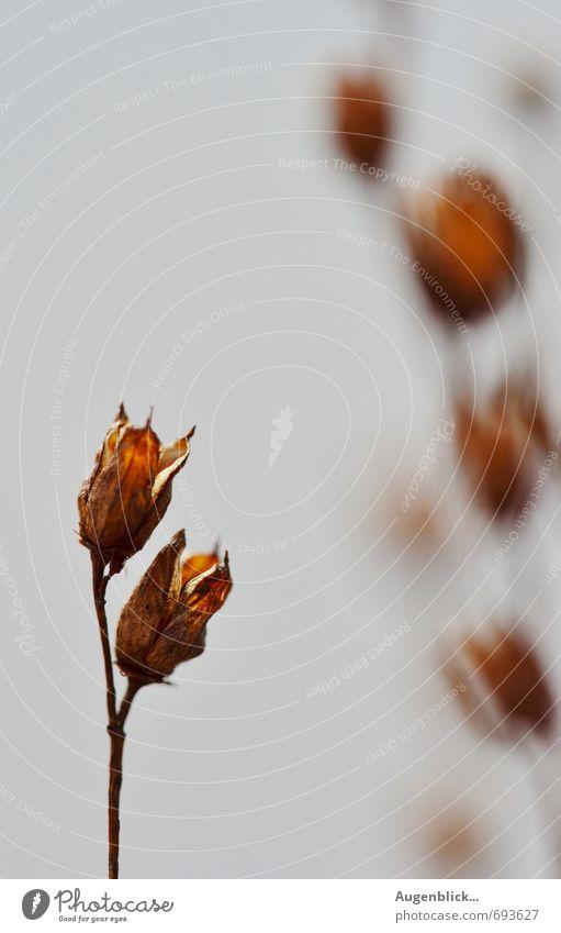 ... alt Blume Blüte grau natürlich braun trist Sträucher einfach trocken