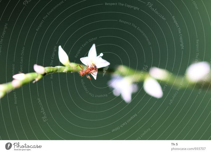 Ameise Natur Pflanze Tier Frühling Sommer Wildtier 1 Blühend entdecken ästhetisch elegant nah Neugier schön grün rot weiß Lebensfreude Frühlingsgefühle
