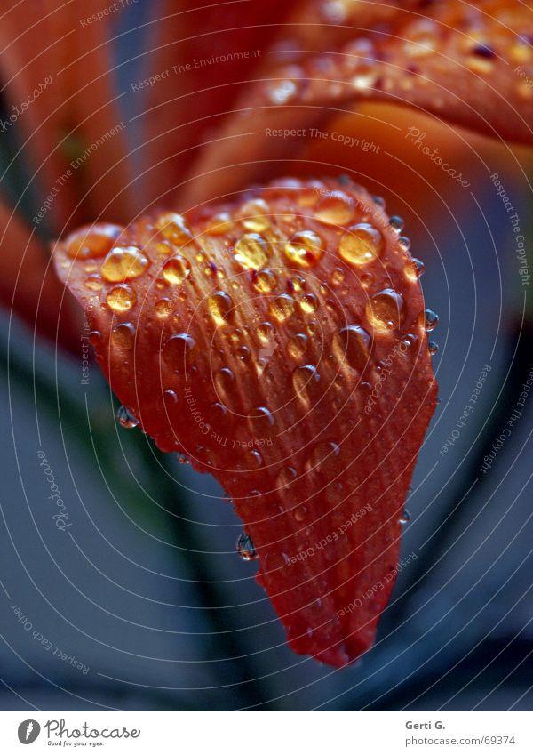 tongue Blatt Blüte Blütenblatt Regen Wassertropfen nass trocken Blume Lilien rain raindrops orange blau blue wet Zunge Natur ja wat noch?