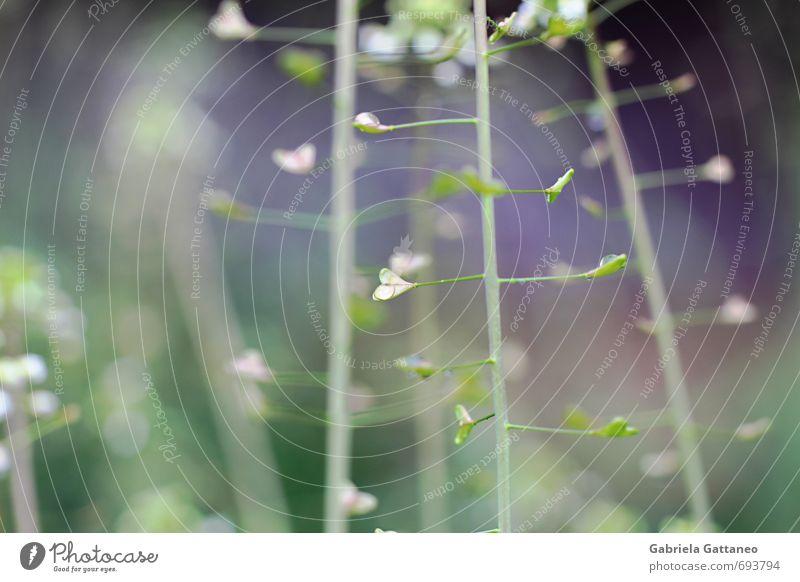 grün Pflanze Wiese violett herzförmig