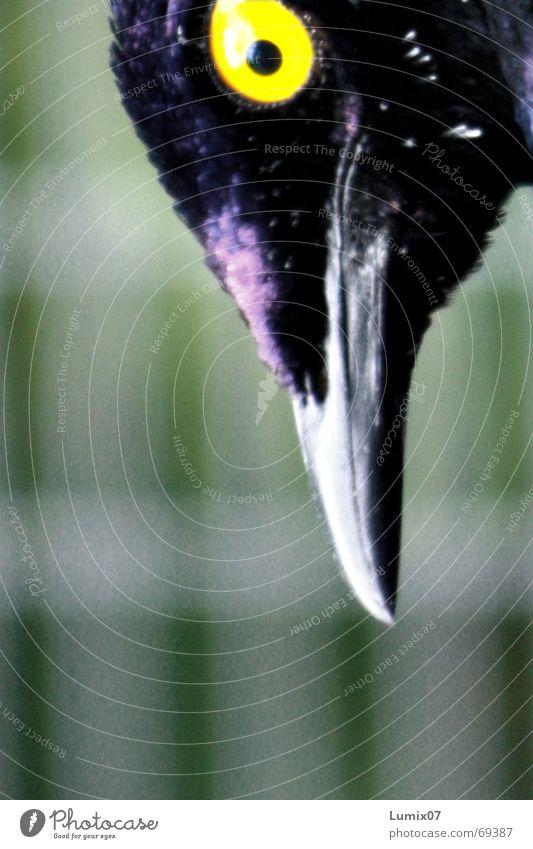 Hey was gugst Du? blau Auge gelb Vogel Spitze violett Schnabel Tier