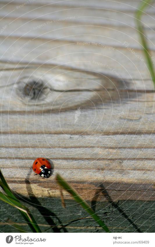 Käfer im Hohen Venn Tier Gras Holz Marienkäfer Käfer Maserung Belgien Eifel Holzmehl Hohes Venn